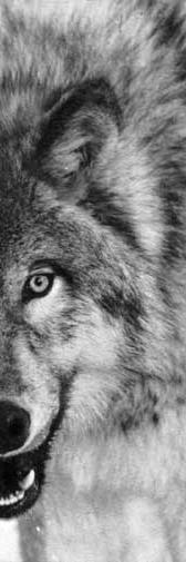 Canis_lupus_portrait.jpg